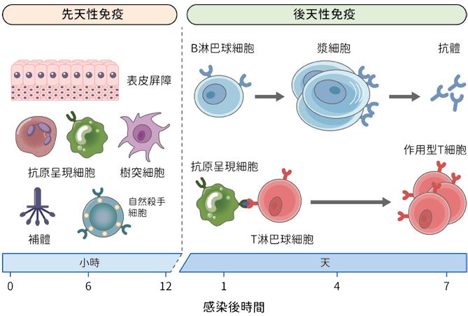 性 免疫 細胞 細胞性免疫と液性免疫